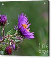 Purple Profiles Acrylic Print