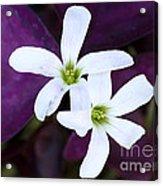 Purple Queen Flowers Acrylic Print by Sabrina L Ryan