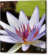 Purple Rhonda Kay Waterlily Above The Pond Acrylic Print