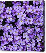Purple Rockcress Acrylic Print