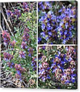 Purple Sage Collage Acrylic Print