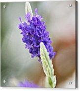 Purple Sage Acrylic Print