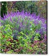 Purple Salvia In The Garden Acrylic Print