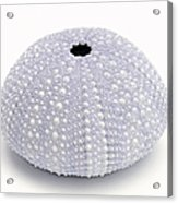 Purple Sea Urchin White Acrylic Print