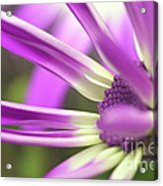 Purple Senetti I Acrylic Print by Cate Schafer