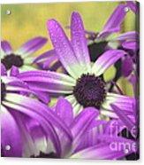 Purple Senetti IIi Acrylic Print by Cate Schafer