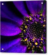 Purple Senetti In Macro Acrylic Print by Rosanna Zavanaiu