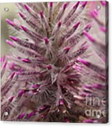 Purple Spike Acrylic Print