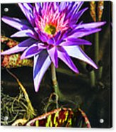 Purple Star Water Lily  By Diana Sainz Acrylic Print
