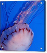 Purple Striped Jelly Fish 5d24930 Acrylic Print by Wingsdomain Art and Photography
