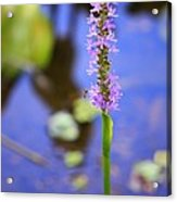 Purple Swamp Flower Acrylic Print