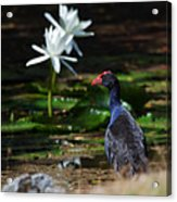 Purple Swamphen Admiring The Water Lilies Acrylic Print