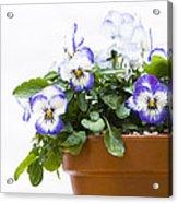 Purple Swirl Violas Acrylic Print