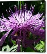 Purple Thistle Acrylic Print