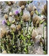 Purple Thistle Acrylic Print by Gerald Murray Photography