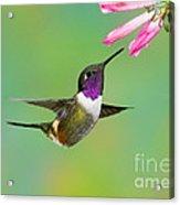 Purple-throated Woodstar Acrylic Print