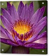 Purple Tropical Water Lily Acrylic Print