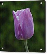 Purple Tulip Acrylic Print by Sandy Keeton