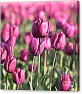 Purple Tulip Standouts Acrylic Print