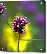Purple Verbena Flowers Acrylic Print
