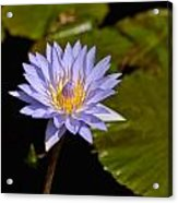 Purple Water Lily 2 Acrylic Print