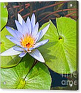 Purple Water Lily In Pond. Acrylic Print