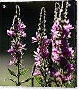 Purple Wild Flowers - 1 Acrylic Print