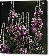 Purple Wild Flowers - 2 Acrylic Print