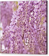 Purple Wisteria Acrylic Print