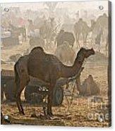 Pushkar Camel Fair - India Acrylic Print