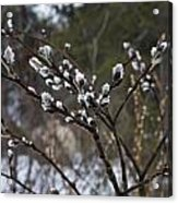 Pussy Willow In The Rain Acrylic Print
