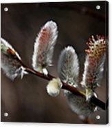 Pussy Willows Acrylic Print