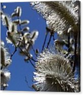 Pussywillow Acrylic Print