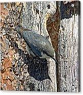 Pygmy Nuthatch At Nest Acrylic Print