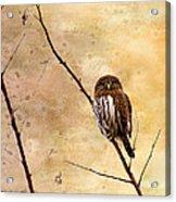 Pygmy Owl - The Watcher Acrylic Print