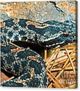 Pygmy Rattlesnake Acrylic Print