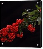 Pyracantha Berries On Black - Pennsylvania Acrylic Print