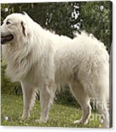 Pyrenean Mountain Dog Acrylic Print