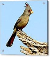Pyrrhuloxia Cardinalis Sinuatus Female Acrylic Print