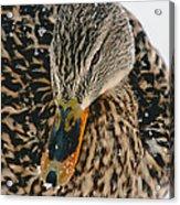 Quack Acrylic Print
