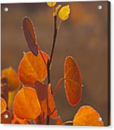 Quaking Aspen In Color   #3749 Acrylic Print