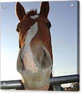 Quarter Horse Portrait Nosing Around Acrylic Print