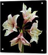 Quartet Of Amaryllis. Acrylic Print