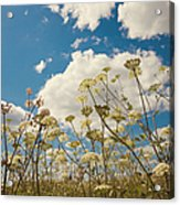 Queen Anne Lace And Sky Acrylic Print by Jenny Rainbow