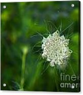 Queen Anne S Lace Single Acrylic Print
