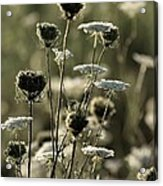Queen Annes Lace - 1 Acrylic Print