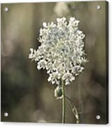 Queen Annes Lace - 3 Acrylic Print