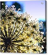 Queen Anne's Lace II Acrylic Print
