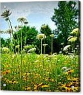 Queen Annes Lace Of The Butterfly Gardens Of Wisconsin Acrylic Print by Carol Toepke