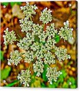 Queen Anne's Lace Or Wild Carrot Near Alamo-michigan Acrylic Print